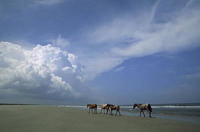 Wild Horses Roaming A Georgia Coast Poster by Michael Melford