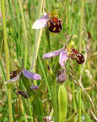 Wild Meadow Bee Orchids Poster