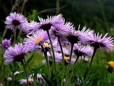 Wild Mountain Asters Poster