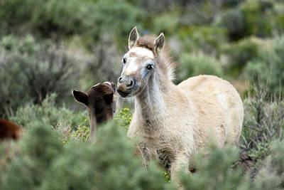 Wild Mustang Foals Poster