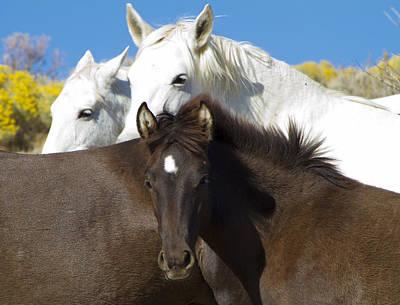 Wild Mustang Herd Poster
