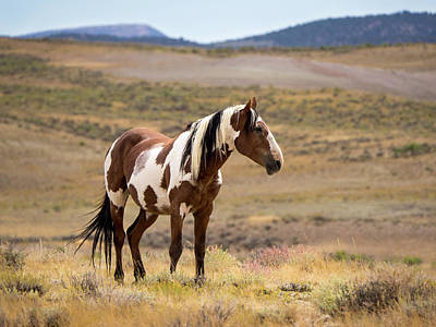 Poster featuring the photograph Wild Mustang Stallion Picasso Of Sand Wash Basin by Nadja Rider