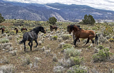 Wild Mustang Stallions Fighting Poster