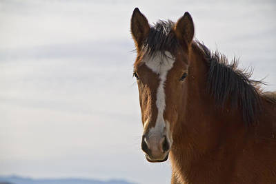 Wild Mustang Yearling Poster