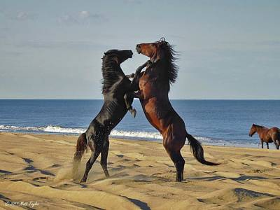 Wild Mustangs Battling On The Beach Poster
