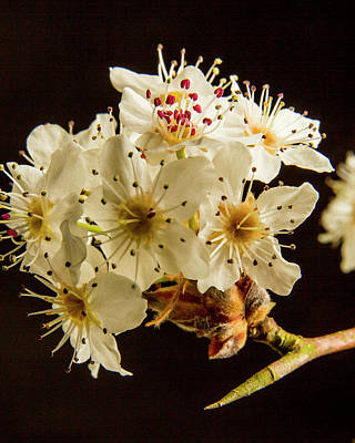 Wild Plum Blooms At Sunset 5529.02 Poster