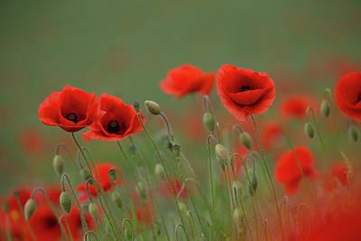 Wild Poppies Poster
