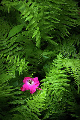 Wild Rose And Fern Poster