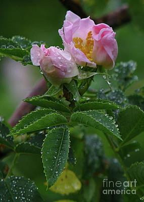 Wild Rose Buds Poster by Deborah Johnson