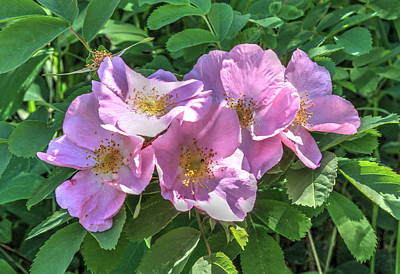 Wild Rose Cluster Poster by Jim Sauchyn