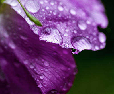 Poster featuring the photograph Wild Rose Droplet by Darcy Michaelchuk