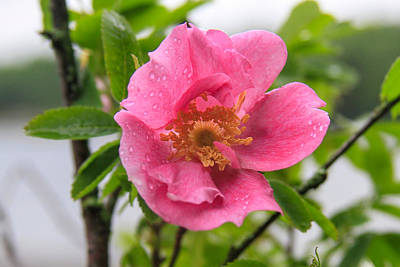 Wild Rose With Dew Poster