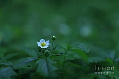 Wild Strawberry Flower Poster