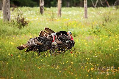 Wild Turkey's Dance Poster by Iris Greenwell
