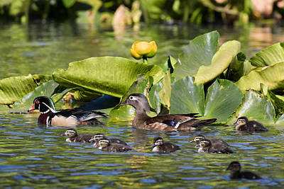 Wild Wood Duck Family Outing Poster