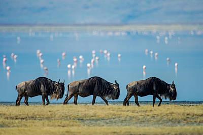 Wildebeests, Ngorongoro Crater Poster