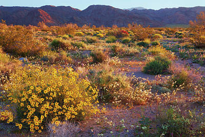 Poster featuring the photograph Wildflower Meadow At Joshua Tree National Park by Ram Vasudev