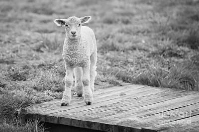 Williamsburg Lamb Poster