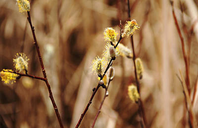Willow Catkins Poster