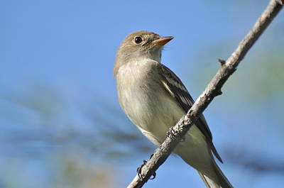 Willow Flycatcher 3 Poster