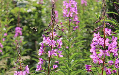 Willow Herb Poster