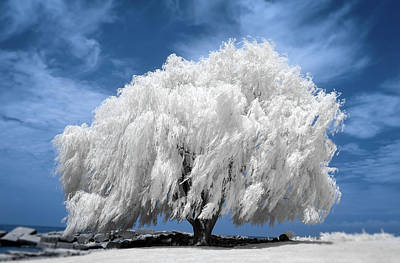 Willow Tree In Infrared   Poster
