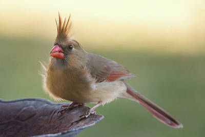 Wind Blown Cardinal  Poster