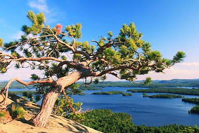 Windswept Pine On Rattlesnake Mountain Poster
