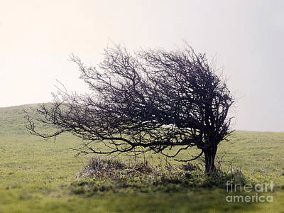 Windswept Tree Poster