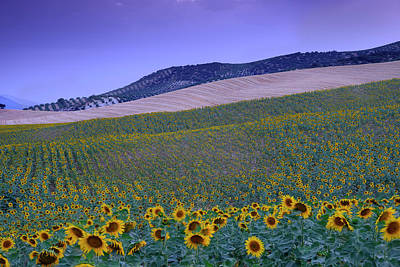 Windy Sunflowers At Blue Hour Poster