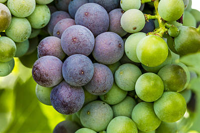 Wine Grapes Close Up Poster