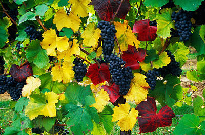 Wine Grapes On Vine, Autumn Color Poster