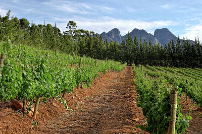 Wine Vineyard - South Africa Poster