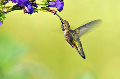 Winged Beauty A Hummingbird Poster by Laura Mountainspring