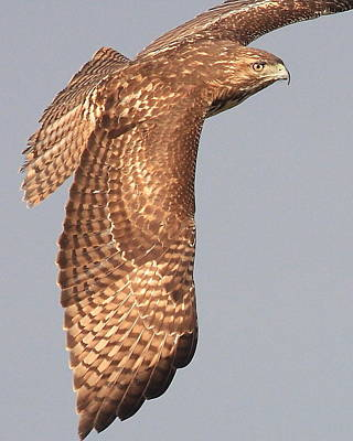 Wings Of A Red Tailed Hawk Poster by Wingsdomain Art and Photography
