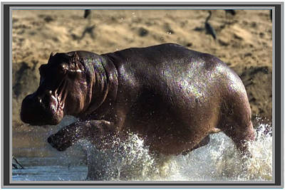 Winner Of The Herd Harem Hippopotamus Poster