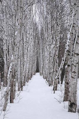 Winter Birch Path Poster