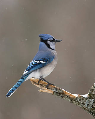 Poster featuring the photograph Winter Blue Jay by Timothy McIntyre