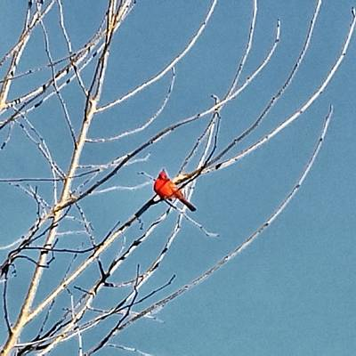 Poster featuring the photograph Winter Cardinal  by Deb Martin-Webster