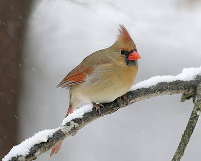 Winter Female Cardinal Poster