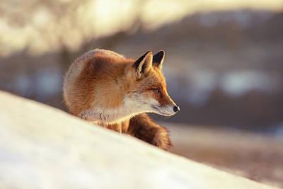 Winter Fox Warmed By The Sun Poster by Roeselien Raimond