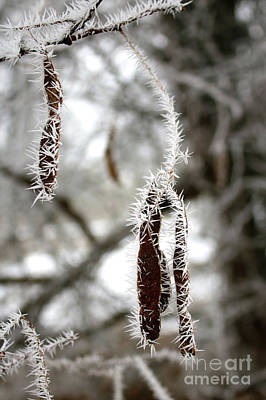 Winter Ice On Seed Pods Poster by Carol Groenen