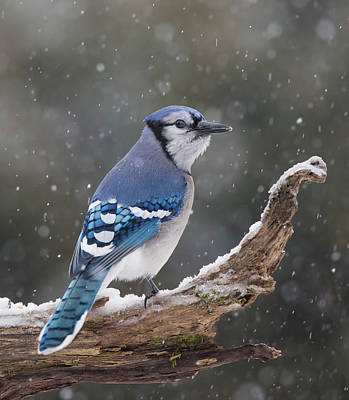 Poster featuring the photograph Winter Jay by Mircea Costina Photography