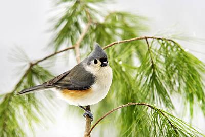 Winter Pine Bird Poster by Christina Rollo