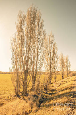Winter Poplar Trees Poster