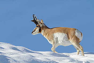Winter Pronghorn Buck Poster