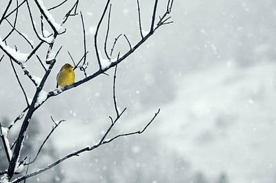 Winter Snow With A Touch Of Goldfinch For Color Poster by Laura Mountainspring