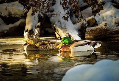 Winter Visitors - Mallard Ducks Poster by TL Mair