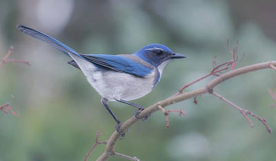 Poster featuring the photograph Wintering Scrub Jay by Angie Vogel