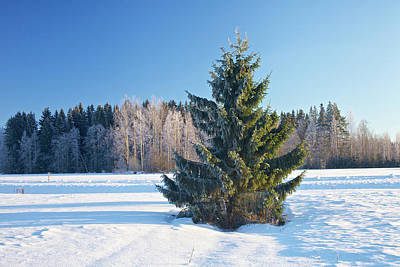 Wintry Fir Tree Poster by Teemu Tretjakov